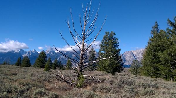 Dead Pine_1