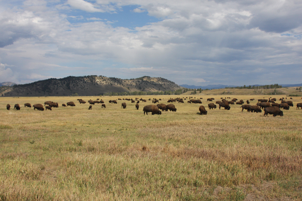 Teton Buffalo Herd