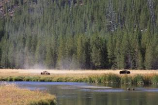 buffalo - yellowstone