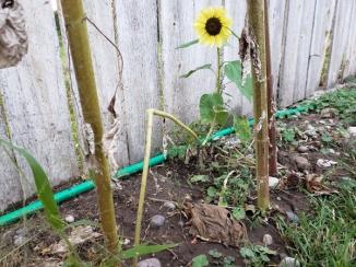 Sunflower_Broken